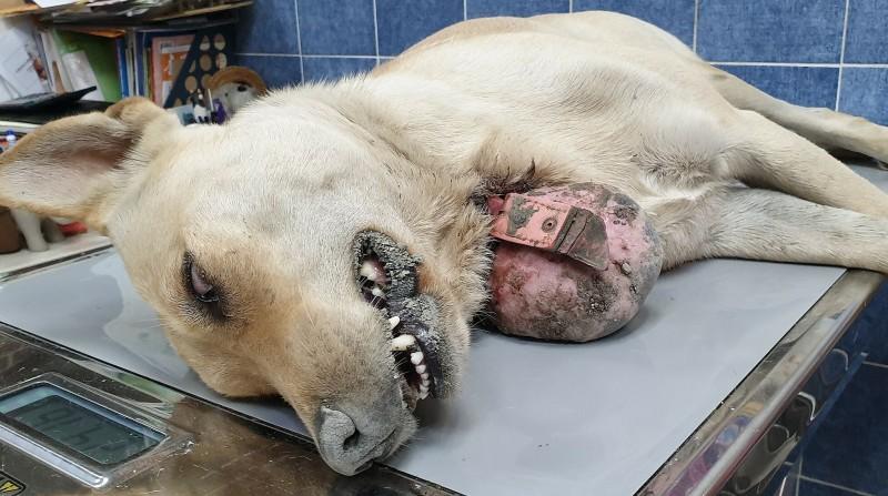 流浪犬頸部長460克腫瘤,竟是頸圈惹的禍!(台灣動物緊急救援小組提供)