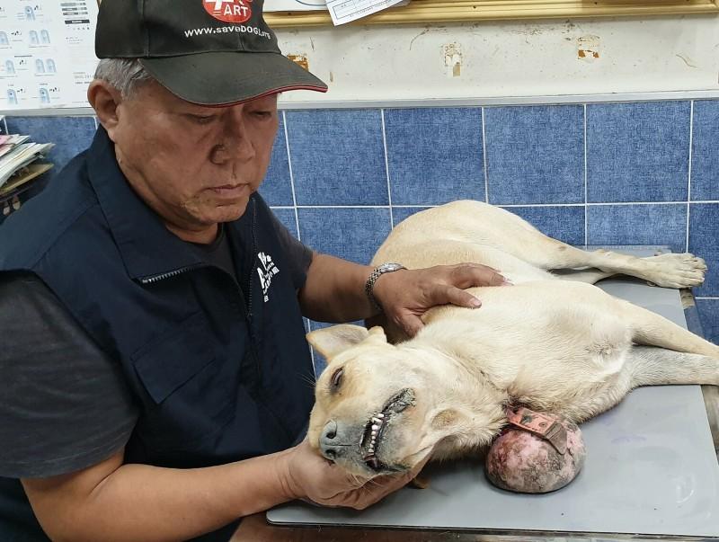 病犬經手術切除腫瘤後恢復良好,但因傷口較大,流浪犬仍在住院治療中。(台灣動物緊急救援小組提供)
