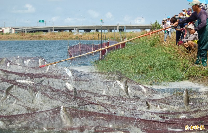台南市虱目魚養殖,全台第一。(記者楊金城攝)