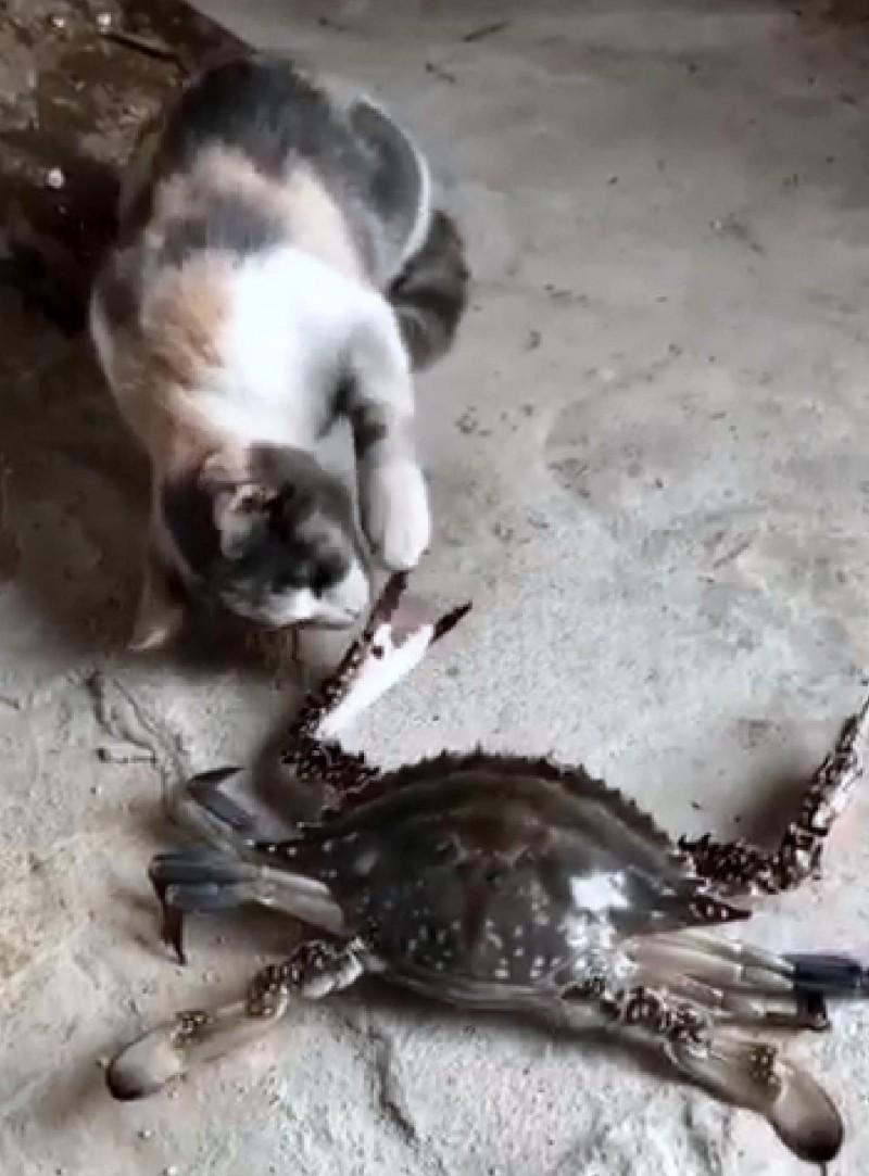 寵物貓對花蟹又摸又舔情形。(記者謝介裕翻攝)