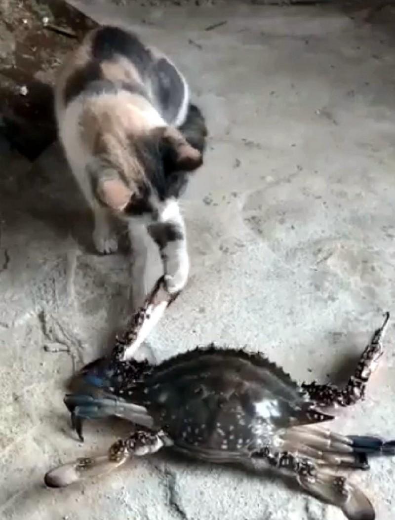 寵物貓的貓爪被花蟹夾住情形。(記者謝介裕翻攝)