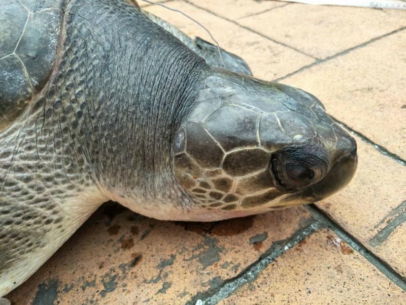 欖蠵龜眼神清澈,狀況不錯。(海巡署提供)