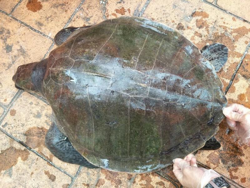 被石梯漁民誤捕而上岸的欖蠵龜,背甲心形呈現欖灰色。(海巡署提供)