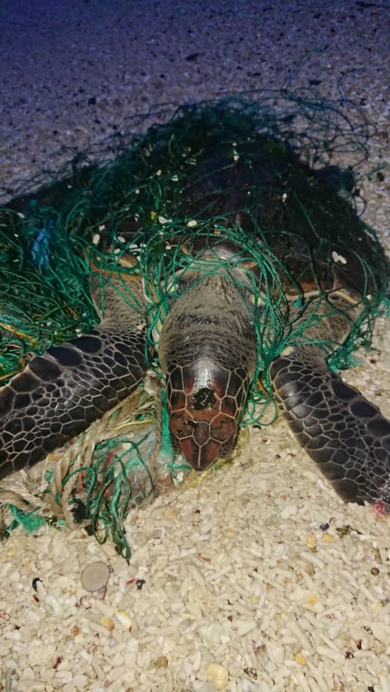 綠蠵龜遭漁網纏身,若無貴人出手相救最後難逃一死命運。(許榮評提供)