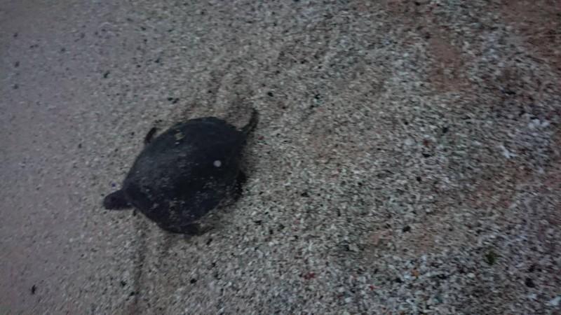 順利脫困的綠蠵龜,急忙循著浪擊聲,奔回大海懷抱。(許榮評提供)