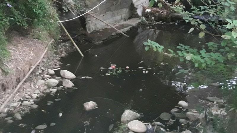 新竹縣新埔鎮寶石里抗議的鄉親提供上個月寶石溪魚群暴斃的狀況。(圖由鄧先生提供)