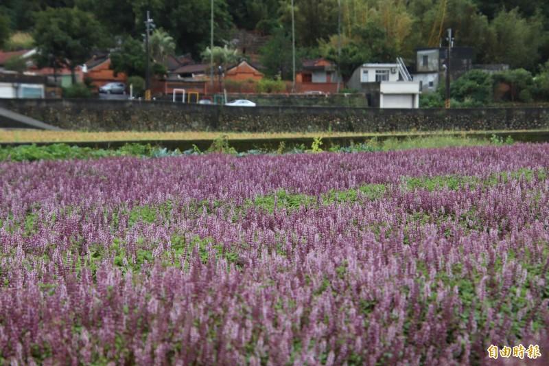 遠方的磚紅色古厝就是新竹縣歷史建築羅屋書院,跟一片紫色的仙草花對望,靜靜地說著一樣的關西小鎮人文產業特色。(記者黃美珠攝)