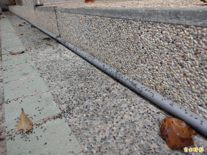 近年在中台灣山區出現的疣胸琉璃蟻危害,雖不會直接影響作物,卻因活動範圍擴大,流竄進家戶,引發民眾困擾。(資料照)