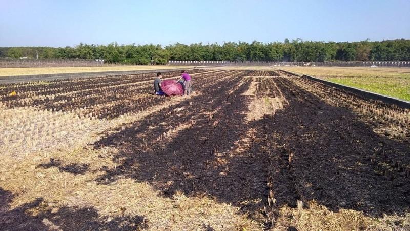 雲林斗六今天下午發生露天燒稻草事件,但在田裡發現一名農民倒臥其中,明顯死亡。(記者黃淑莉翻攝)