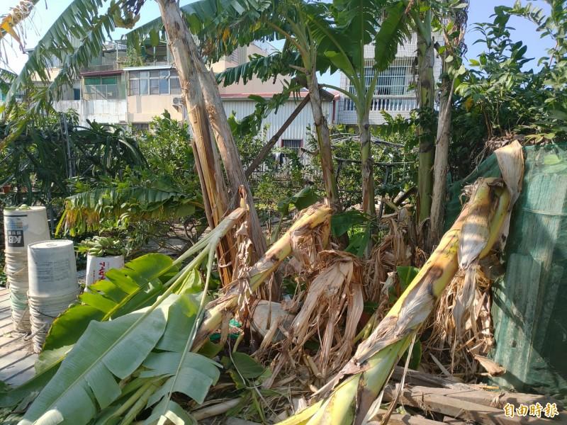 安南區公塭里日前一處香蕉園,遭到不明大型動物破壞,超過棵20棵香蕉被攔腰折斷,農業局送鑑定認為大型狗所為。(記者蔡文居攝)