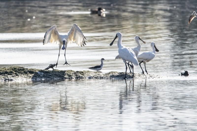 鳥友在礁溪廢棄魚塭,發現一隻纏著獸鋏的黑面琵鷺。(鳥友汪承禎提供)