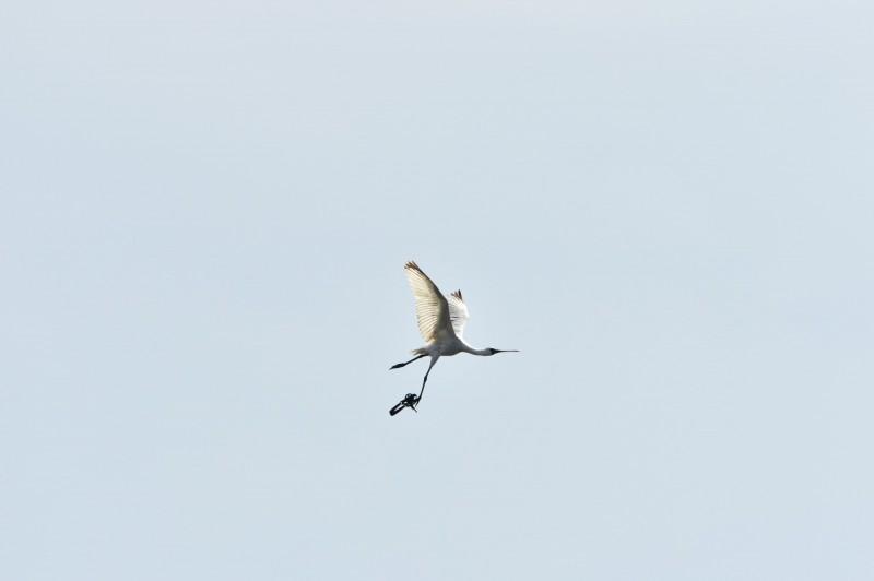腳上夾著獸鋏的黑面琵鷺驚慌飛離,鳥友和縣府人員仍在尋找牠的下落。(鳥友汪承禎提供)