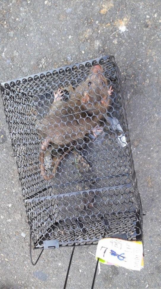 出漢他病毒出血熱為感染漢他病毒引起,主要透過帶有病毒的鼠類等囓齒類動物傳染給人類。(衛生局提供)