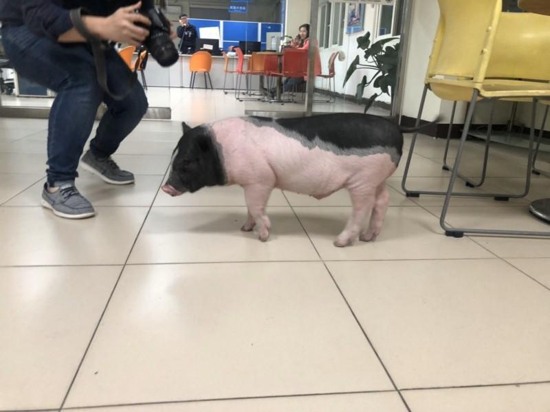 麝香豬「阿泡」在埔子派出所內等待黃姓飼主前來領回。(記者周敏鴻翻攝)