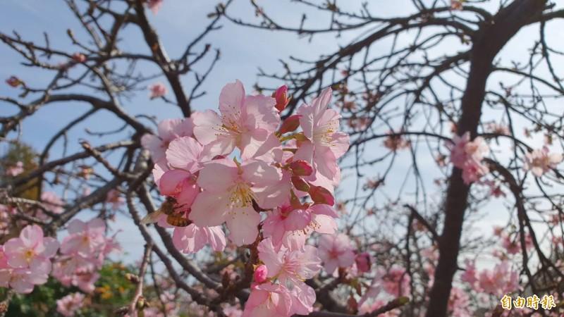 美麗的櫻花盛開,吸引蜜蜂採蜜。(記者張聰秋攝)
