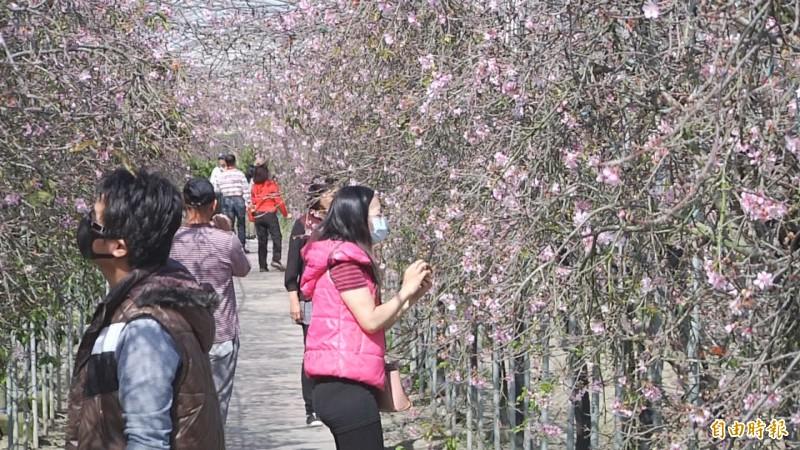 走在櫻花隧道陽光灑落,愜意十足。(記者張聰秋攝)