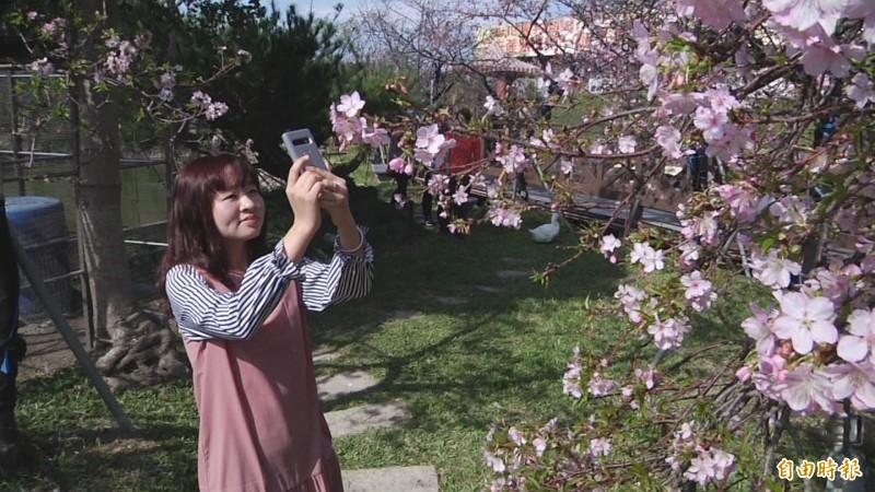 民眾隨手拿起手機拍櫻花,怎麼拍怎麼漂亮。(記者張聰秋攝)