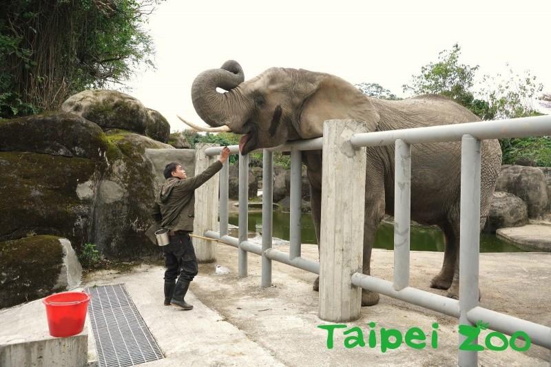 非洲象和保育員們在今天進行親近訓練。(動物園提供)