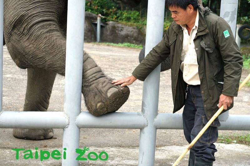 非洲象需要定期修蹄。(動物園提供)