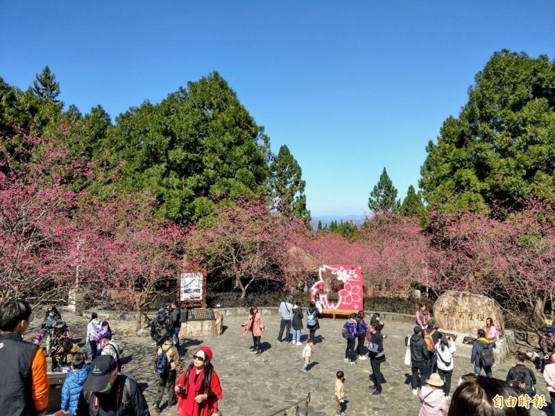 日月潭風景區內的九族文化村,園區八重櫻已經綻放7成,其他還有晚開的富士櫻,賞櫻可到2月底。(記者劉濱銓攝)