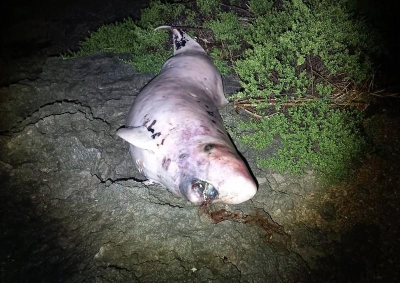 死亡在後灣的侏儒抹香鯨。(記者蔡宗憲翻攝)