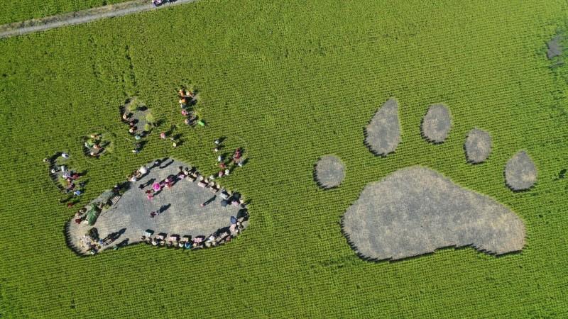 玉里鎮公所在臺鐵客城一號、二號橋旁的稻田,割出兩個巨大的黑熊前腳印圖案,今天請玉里鎮源城國小學童與貴賓一起割稻體驗,完成左腳的5個腳趾頭,鎮長蔡秋龍說,歡迎遊客報名6月25日的活動。(玉里鎮公所提供)