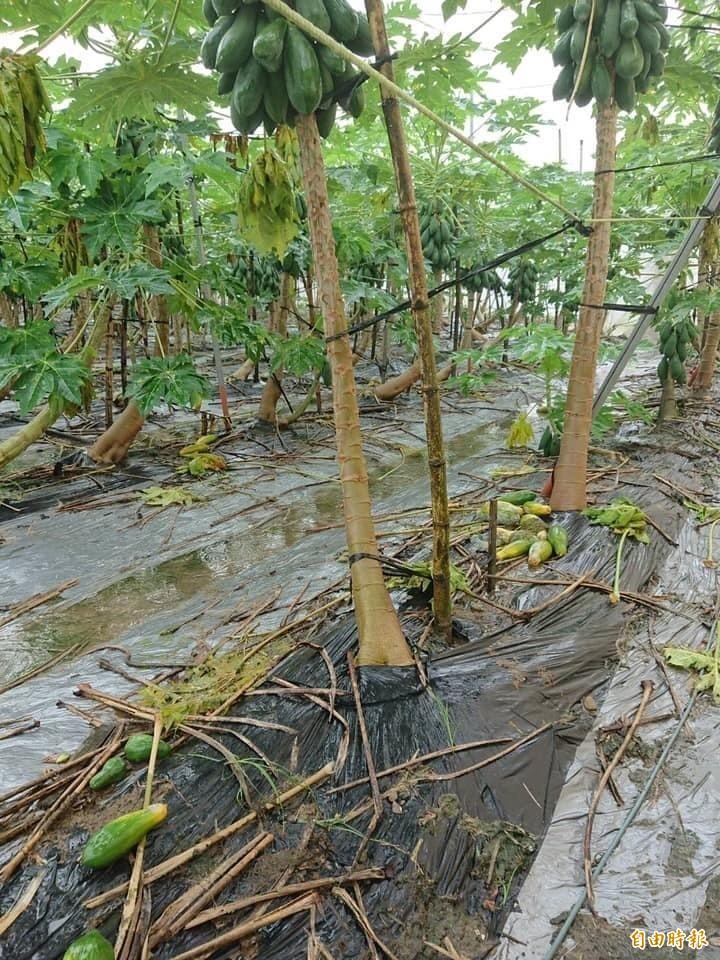 大豪雨後,木瓜因強烈日照產生遲滯性災損。(記者許麗娟攝)