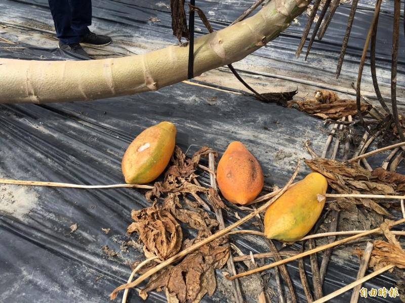 木瓜農因豪雨損失近8、9成。(記者許麗娟攝)