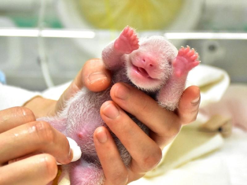 大貓熊新生寶寶萌到不要不要!(7月1日,3日齡)。(台北市立動物園提供)