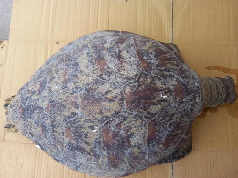 海龜身上無明顯外傷,死亡時間約8小時。(民眾提供)