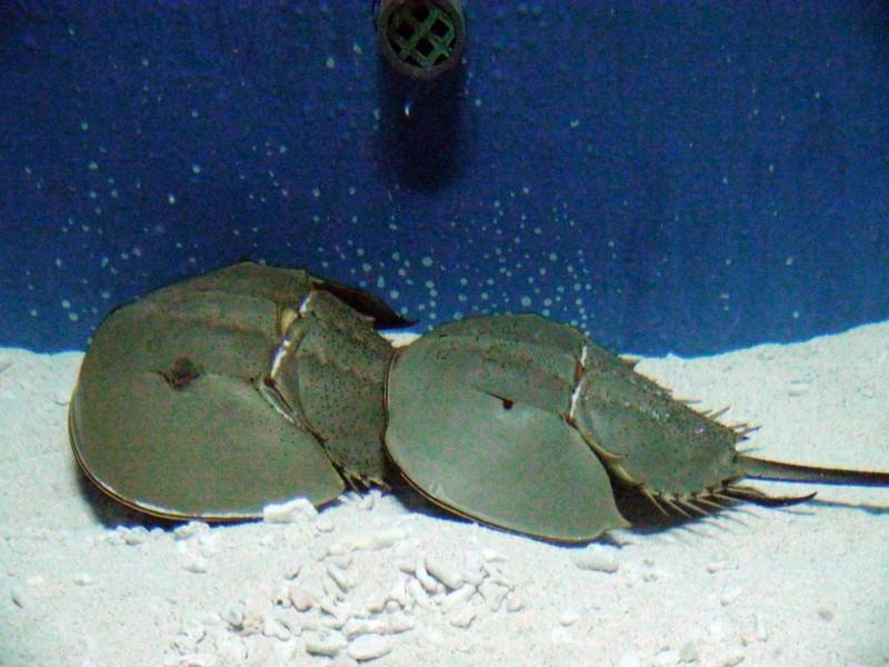 位在屏東車城的國立海生館有展示「鱟」生態缸。(記者蔡宗憲翻攝)