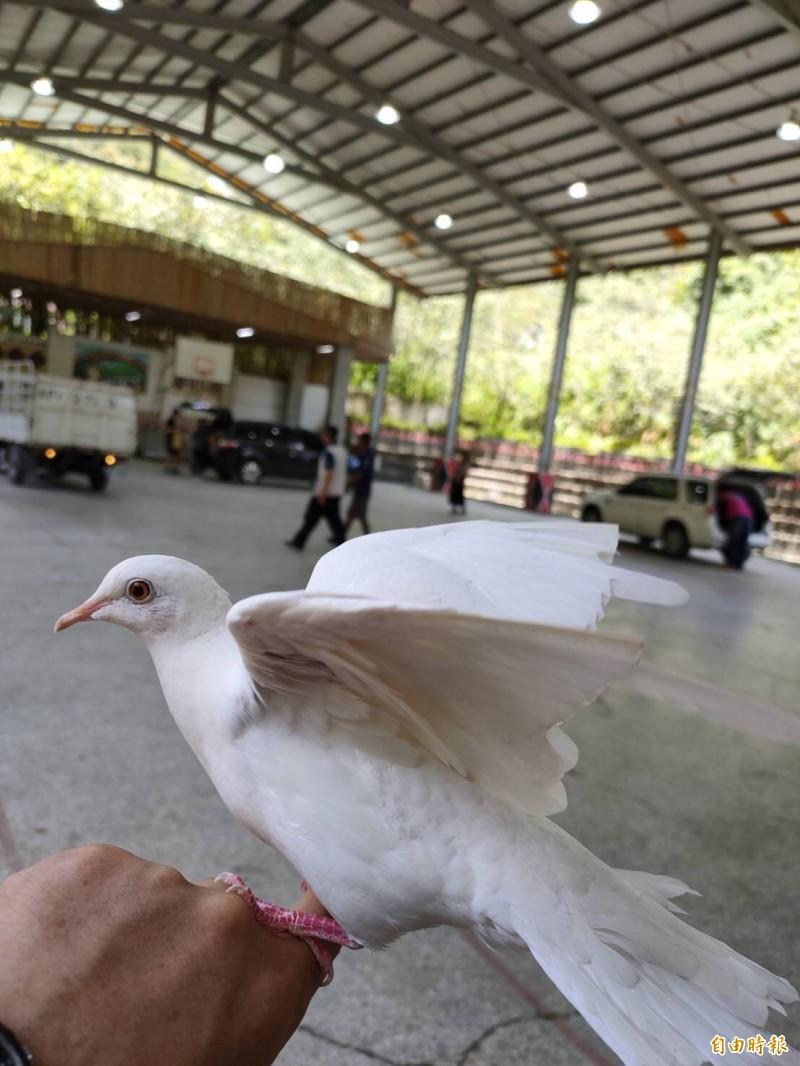 變鴿魔術的主角不是白鴿,而是白斑鳩。(記者許國楨攝)