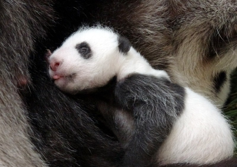 大貓熊二寶妹吐舌頭。(圖由台北市立動物園提供)