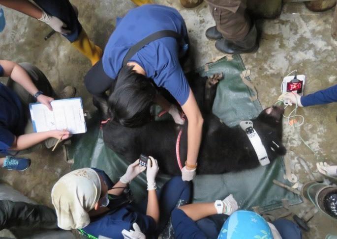 錦屏母熊進行健康檢查,並佩掛無線電發報頸圈。(記者陳賢義翻攝)