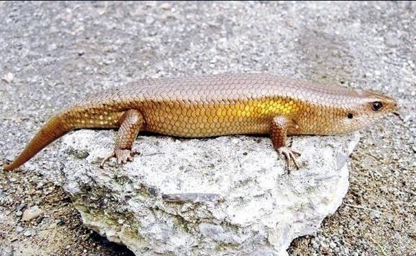 外來種「多線真稜蜥」體型粗壯。(資料照,林德恩提供)
