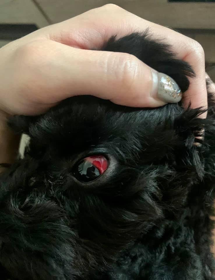 小狗被打到眼球出血。(擷自臉書動保社團)