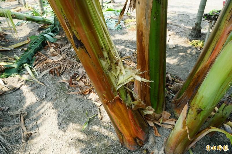 香蕉植株遭剝皮後被啃食。(記者陳彥廷攝)