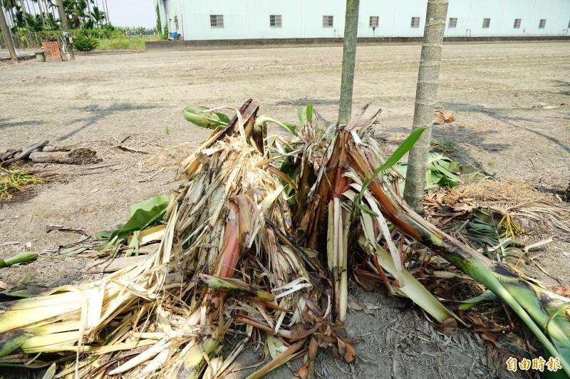 香蕉植株遭剝皮後被啃食中心最嫩部分。(記者陳彥廷攝)