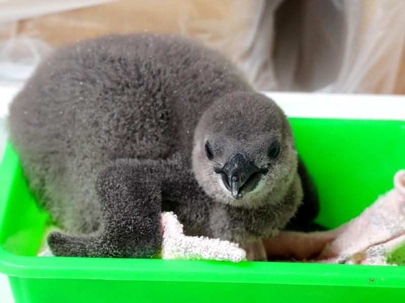 今年8月底,台北市立動物園的黑腳企鵝家族再添寶寶。(台北市立動物園提供)