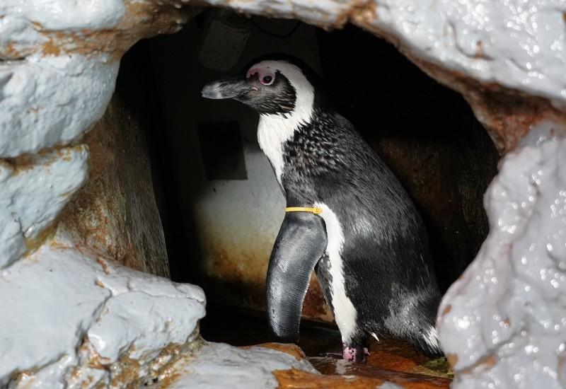 這次黑腳企鵝寶寶的爸媽不太會照顧寶寶(爸爸「杉賜」)。(台北市立動物園提供)