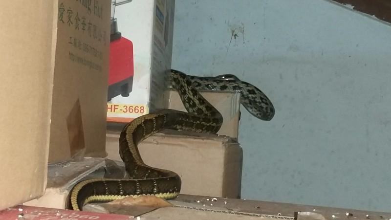 前晚在洪春景屋內爬行的黑眉錦蛇。(記者黃明堂翻攝)