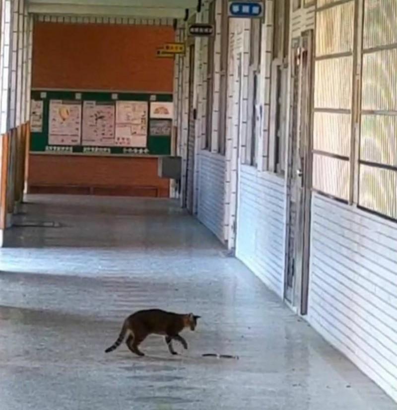 霧峰吉峰國小本月6日清晨,在校園走廊出現難得一見的「貓蛇大戰」。 (記者陳建志翻攝)