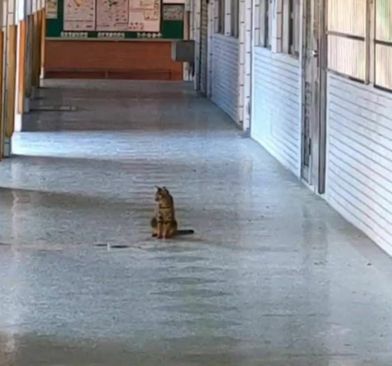 本月6日清晨,一隻花貓和一條出生不久的黑眉錦蛇同時出現在校園一樓走廊,一開始花貓靜靜坐著觀察錦蛇。(記者陳建志翻攝)