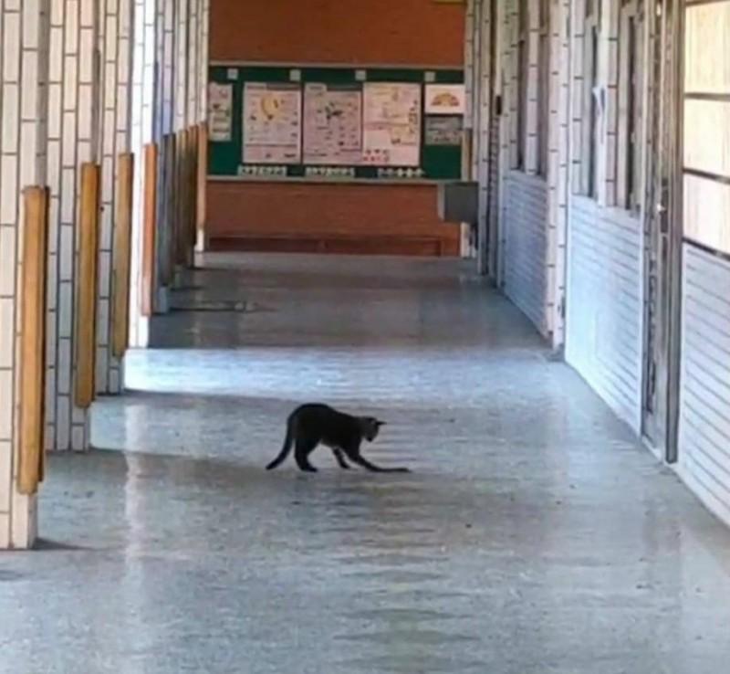 霧峰吉峰國小校園走廊6日清晨出現貓蛇大戰,貓咪接連伸出前爪攻擊。(記者陳建志翻攝)