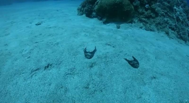 民眾在臉書「就是愛綠島」po上圓眼燕魚放流後死在海底的影片。(記者黃明堂翻攝)