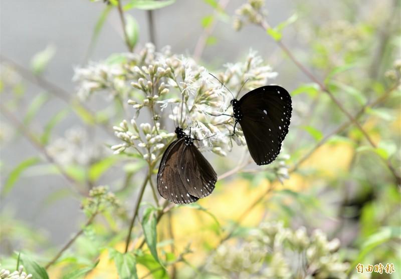 茂林生態公園已見蝶群現蹤。(記者許麗娟攝)