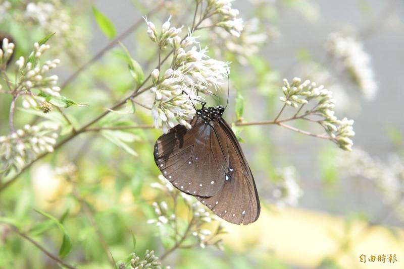 賞蝶的最佳時機是上午10點前,遊客也能透過茂管處網站了解每日蝶況。(記者許麗娟攝)