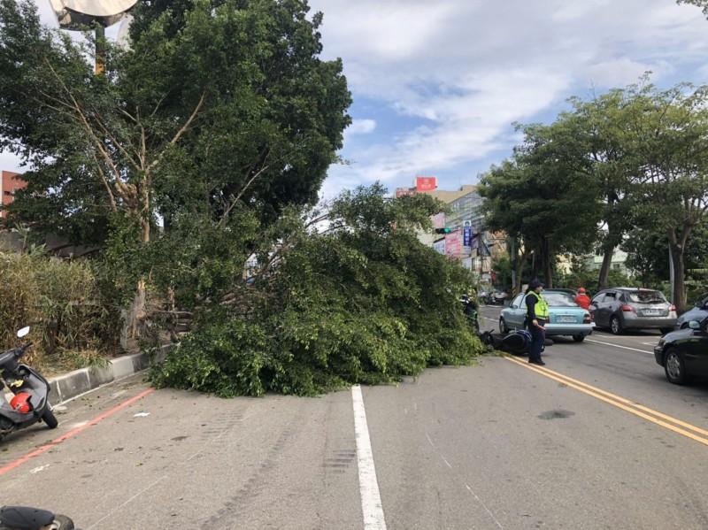 苗栗縣頭份市地標公園1棵緊鄰中華路的路樹,疑似因風勢強勁樹幹遭撕裂往中華路倒塌,有騎士被壓到受傷,也有騎士為了閃避而車禍摔倒,5人受傷。(圖由民眾提供)