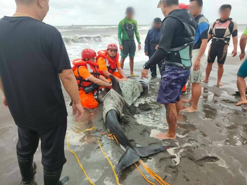 兩隻瓜頭鯨擱淺新北林口海灘,警方、海巡人員及新北市動保處及中華鯨豚協會合力救援。(記者吳仁捷翻攝)