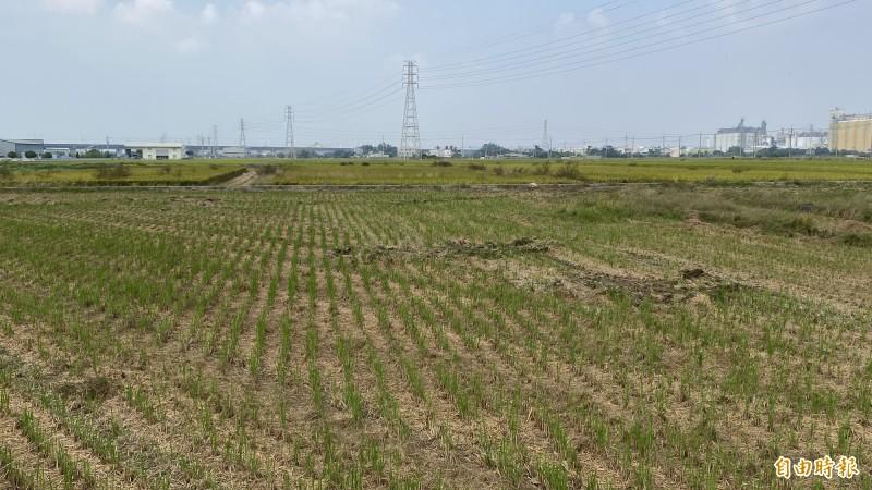 嘉南一期稻作將停灌休耕,農委會規劃補償措施。(記者楊金城攝)